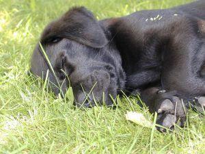 De ce labradorul este încă supraponderal