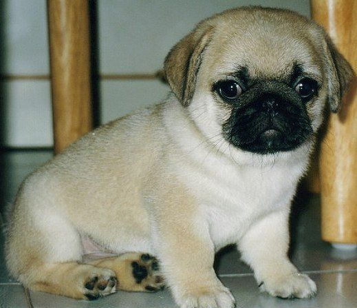 Baby Pug Pic prin curtoazia lui Ward Kadel pe Flickr, licențiat sub Creative Commons