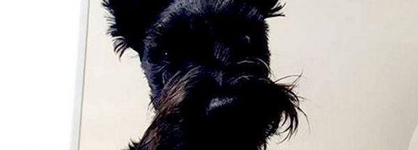 Black Scotish Terrier Privind Camera