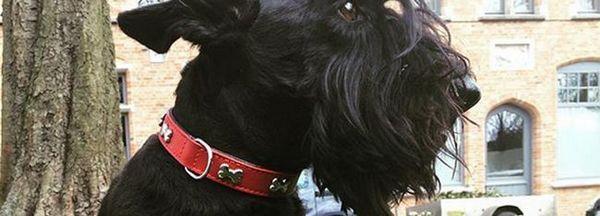 Profilul scoțian scoțian terrier