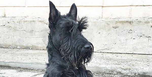 Black Terrier Scottish Wet