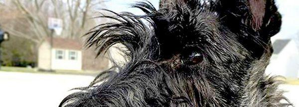 Profilul terrierului scoțian neagră