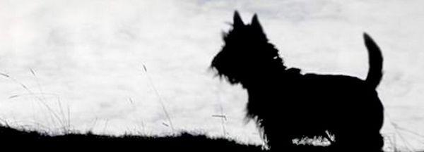 Schița terrierului scoțian
