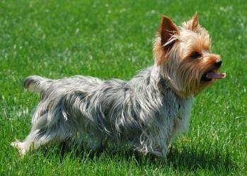 Salvarea Terrierului Yorkshire